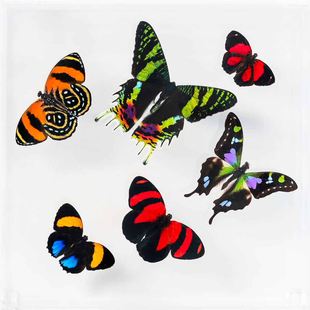 "7"" x 7"" exotic butterfly display - 77swcap"