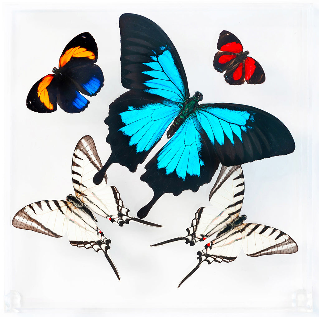 "7"" x 7"" exotic butterfly display - 77SUPPZ - Regular price $169.00"
