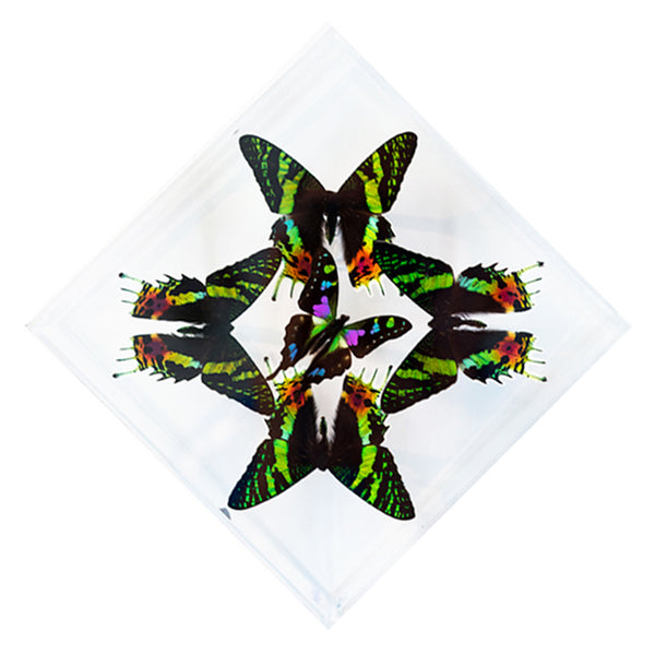 "7"" x 7"" exotic butterfly display - 77kdpsw - Regular price $159.00"