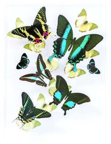 "9"" x 12"" exotic butterfly display - 912BESP - Regular price $325.00"
