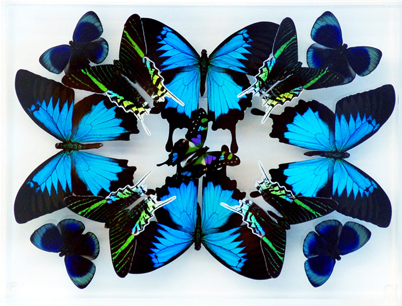 "9"" x 12"" exotic butterfly display - 912kulw"