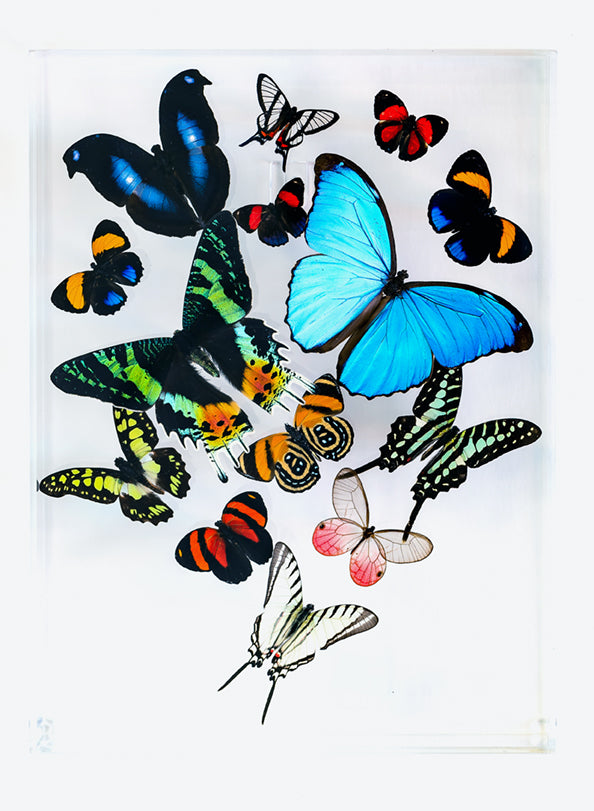 "9"" x 12"" exotic butterfly display - 912MCMP - Regular price $325.00"