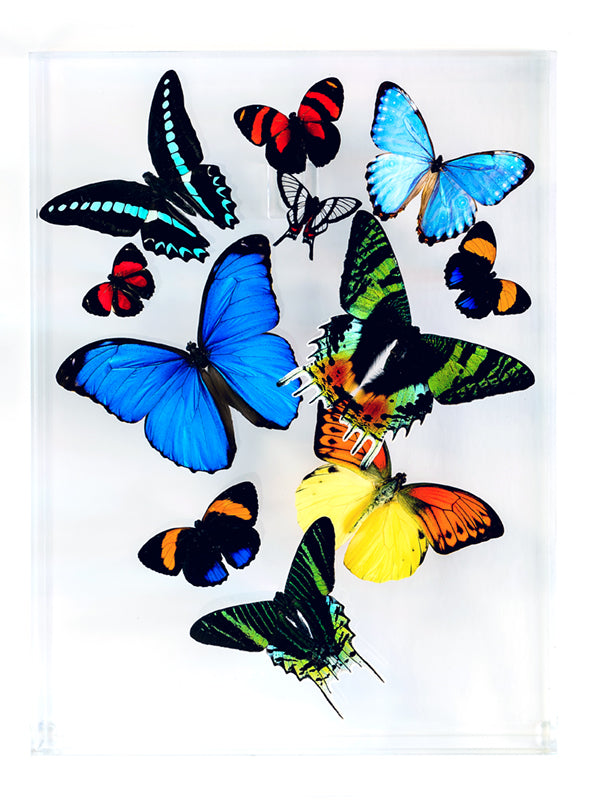"9"" x 12"" exotic butterfly display - 912mcms"