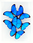 "9"" x 12"" exotic butterfly display - 912mm"