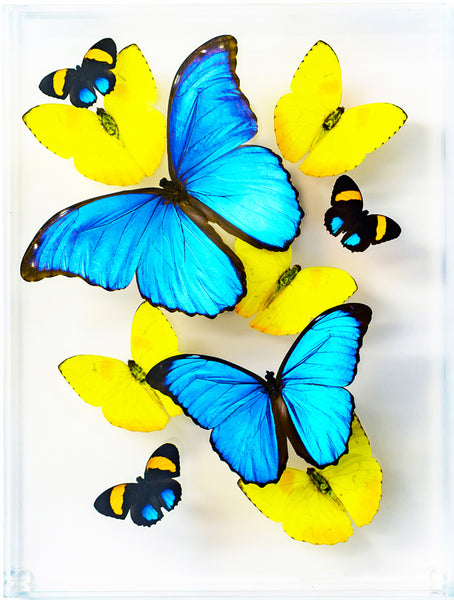 "9"" x 12"" exotic butterfly display - 912mpa - Regular price $325.00"