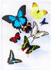 "9"" x 12"" exotic butterfly display - 912multi - Regular price $315.00"