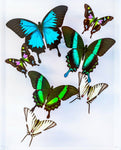 "9"" x 12"" exotic butterfly display - 912wbuz"