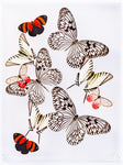 "9"" x 12"" exotic butterfly display - 912zmcl"