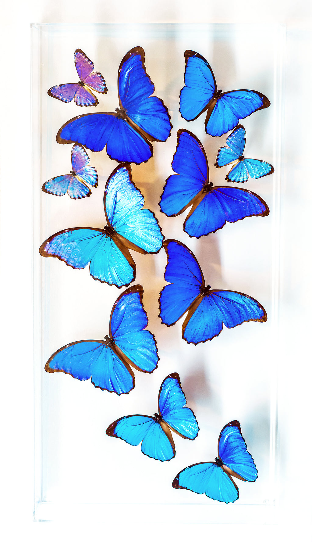 "12"" x 24"" exotic butterfly display - 1224MPDM - Regular price 795.00"