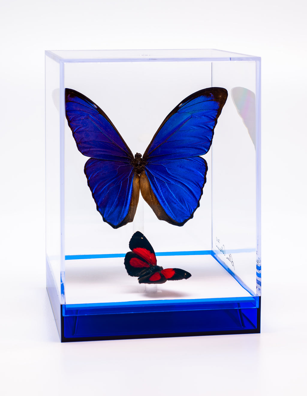 "5 1/2"" Tall Table Display - Morpho Menelaus and Paulogramma"