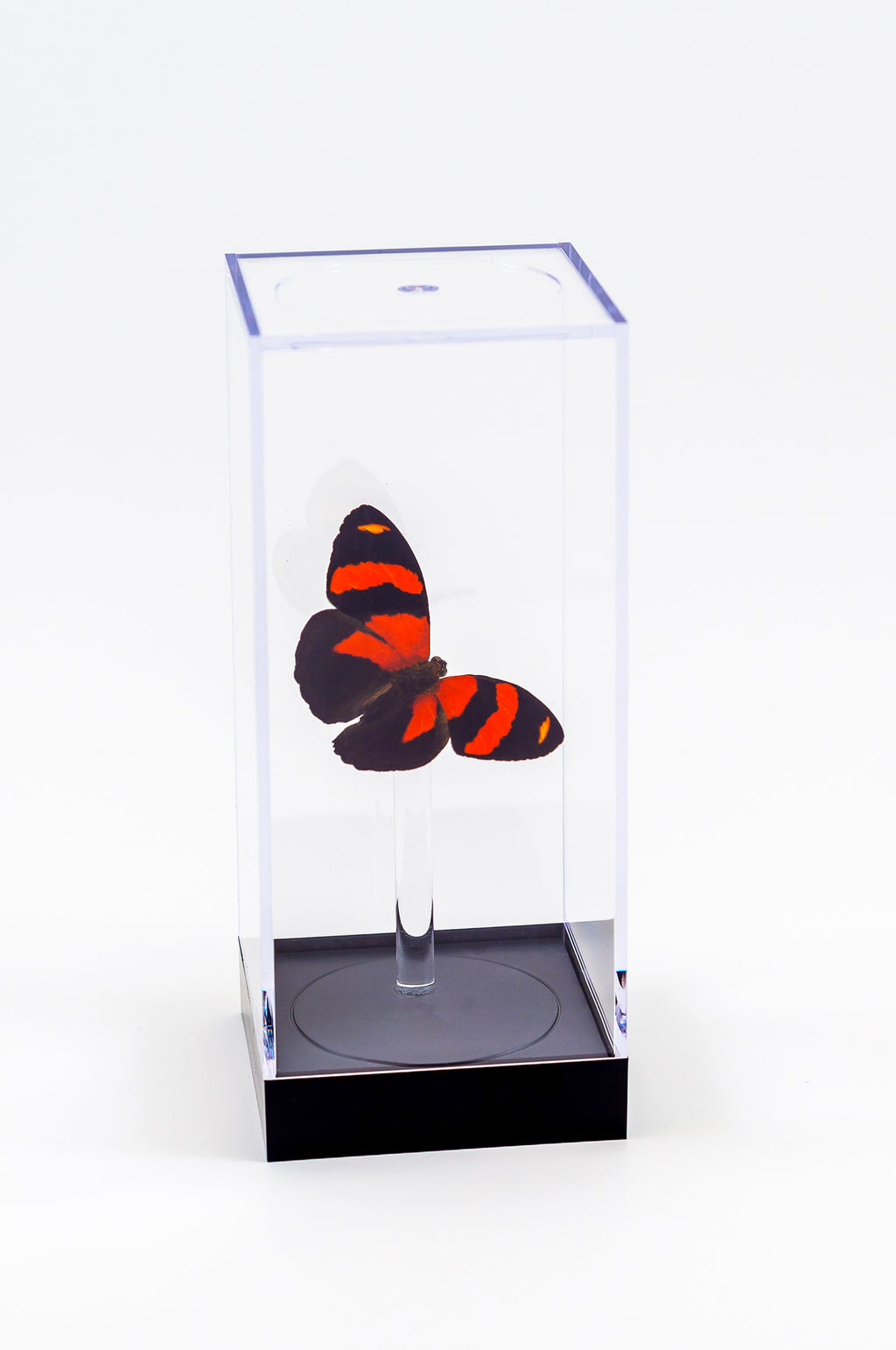 "5"" Tall Table Display - Cynosura Butterfly"
