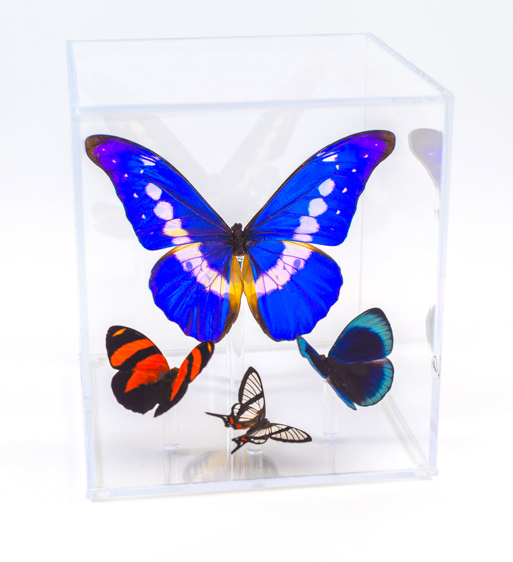 "6"" Tall Table Display - Morpho Helena - Regular price $350.00"