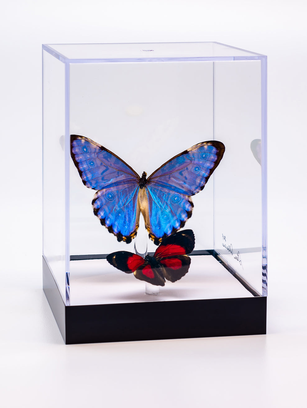 "5"" Tall Table Display - Morpho Portis and Paulogramma"