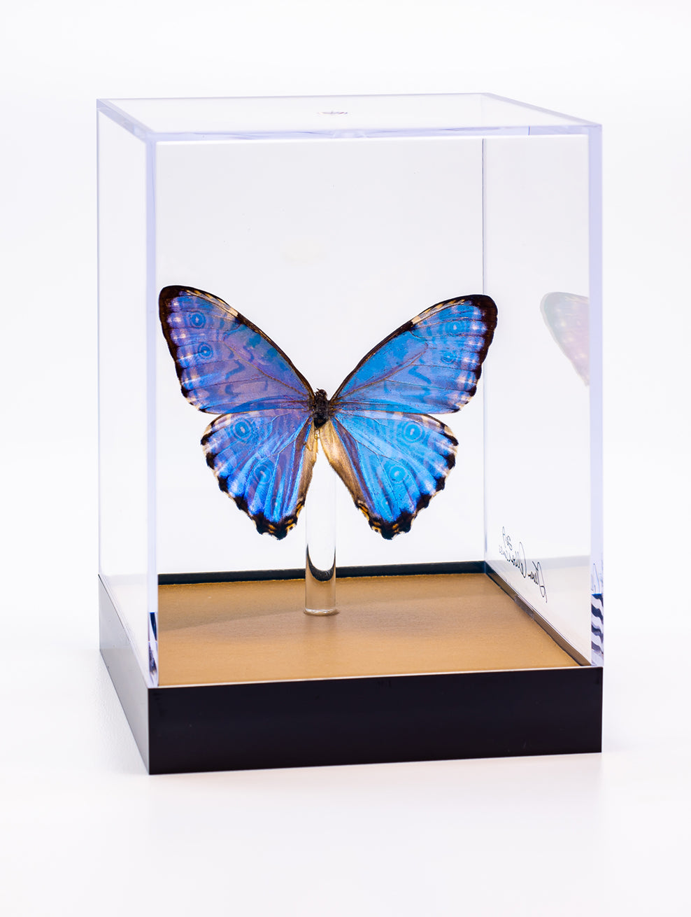 "5"" Tall Table Display - Morpho Portis with gold base"
