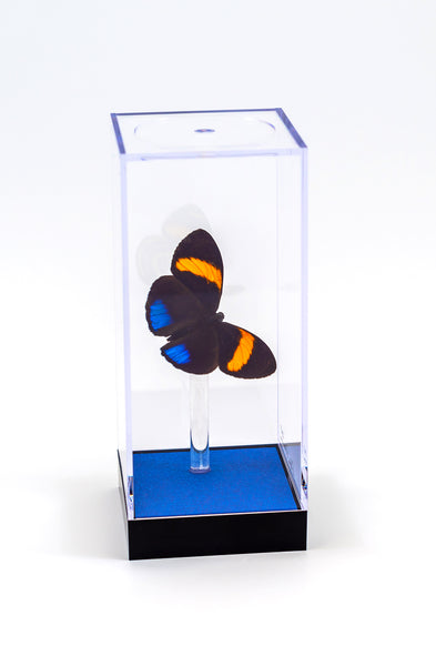 "5"" Tall Table Display - Pastazza Butterfly"