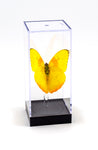 "5"" Tall Table Display - Phoebis Philea Butterfly"