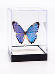 "5"" Tall Table Display - Morpho Portis"
