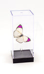 "5"" Tall Table Display - Purple Tip Butterfly - Regular price $32.00"