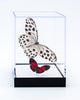 "5"" Tall Table Display - Rice Paper butterfly and Paulogramma"