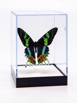 "5"" Tall Table Display - Sunset Moth Regular price $49.00"