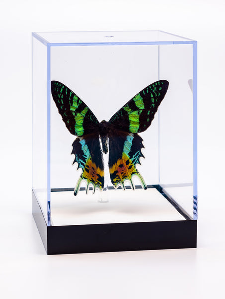 "5"" Tall Table Display - Sunset Moth"