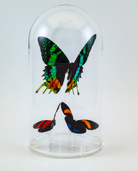 "7"" Glass Dome with exotic butterflies"