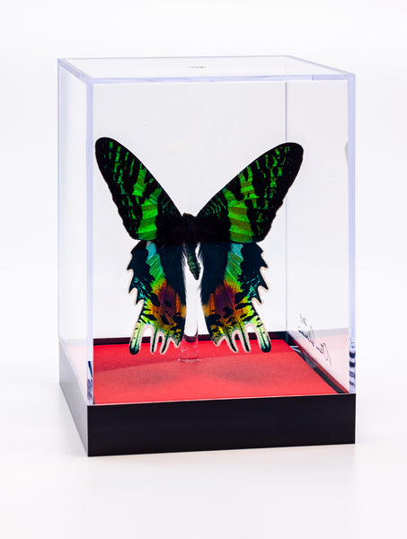 "5"" Tall Table Display - Sunset Moth with red base"