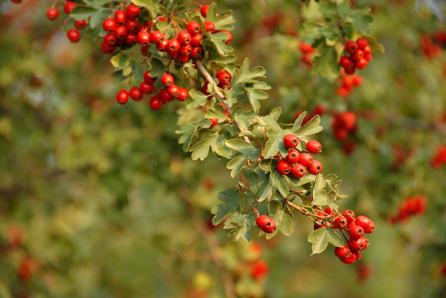 The Benefits of Hawthorn Extract