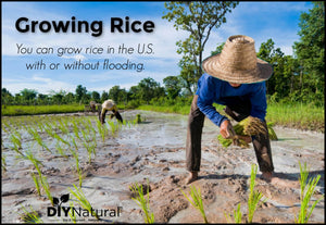 When you think of growing rice the U.S