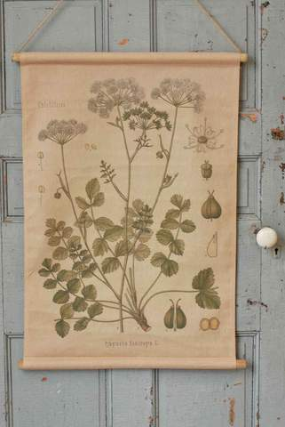Pimpinella Botanical Canvas