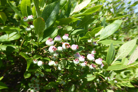 Blueberries on Blueberry trail: Quehanna Lizard Map