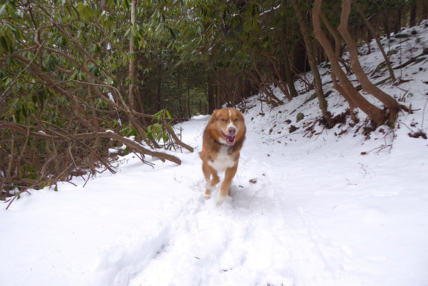 Dogs enjoy snow Allegheny Front Trail Moshannon State Forest PA