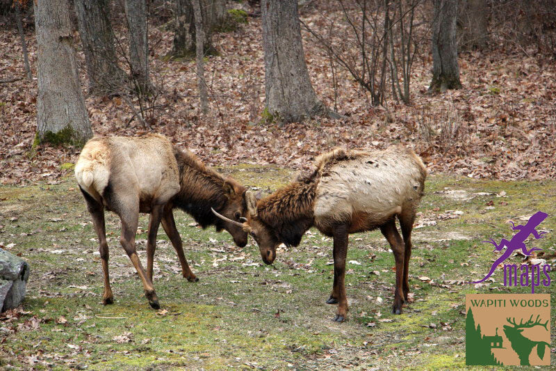 Elk in Benezette PA along Elk Scenic Drive on Moshannon Quehanna Purple Lizard Map