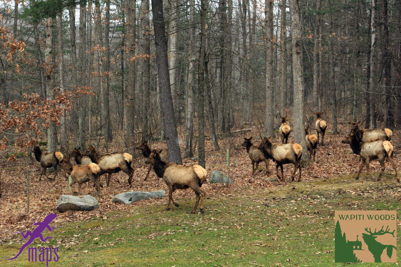 Elk Herd Grazing near Benezette PA on Purple Lizard Moshannon Quehanna Map