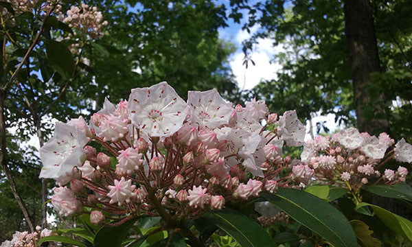 Mountain Laurel: Pennsylvania Summer!