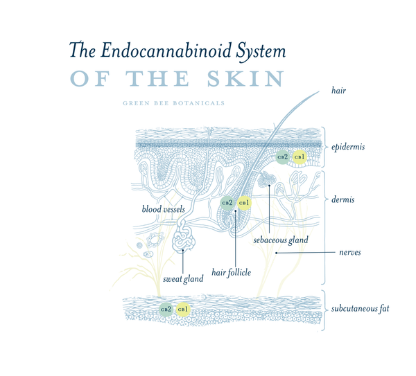 endocannabinoid system of the skin