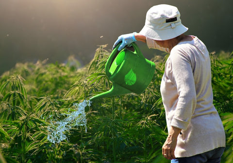 Watering Cannabis Plants with Future Harvest Nutrients