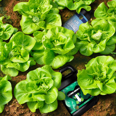 A cabbage patch with bottles of Citric Down and pH Down laying around it.