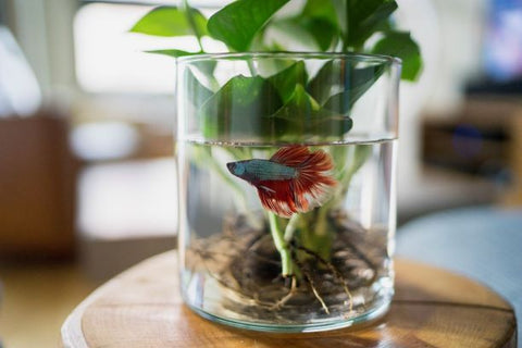 A plant's roots are submerged in a glass of water where a fish is swimming