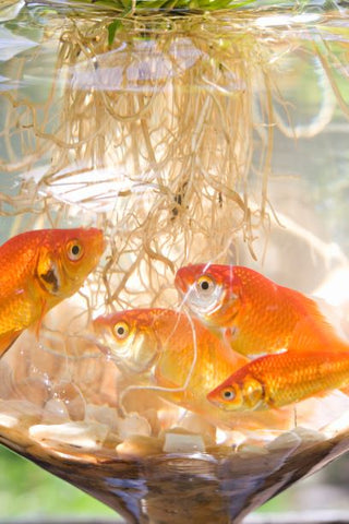 Three gold fish in a bowl gather around the roots of a submerged plant.