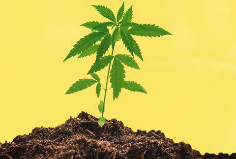A small cannabis plant protrudes from a pile of dirt