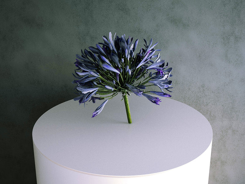 Agapanthus (Purple) Flower / Cutting 02