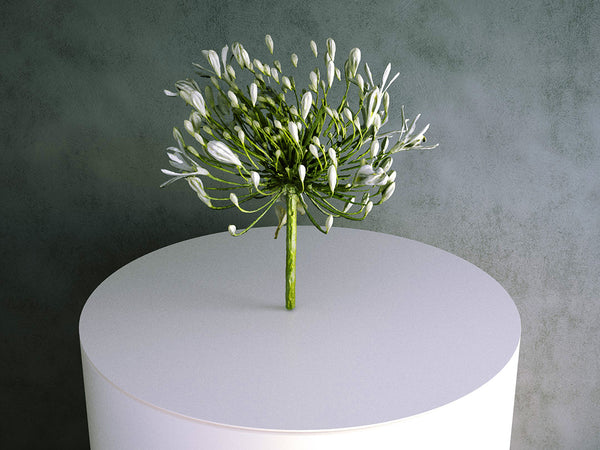 Agapanthus (White) Flower / Cutting 02