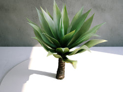 Agave Attenuata (Fox's Tail) 01