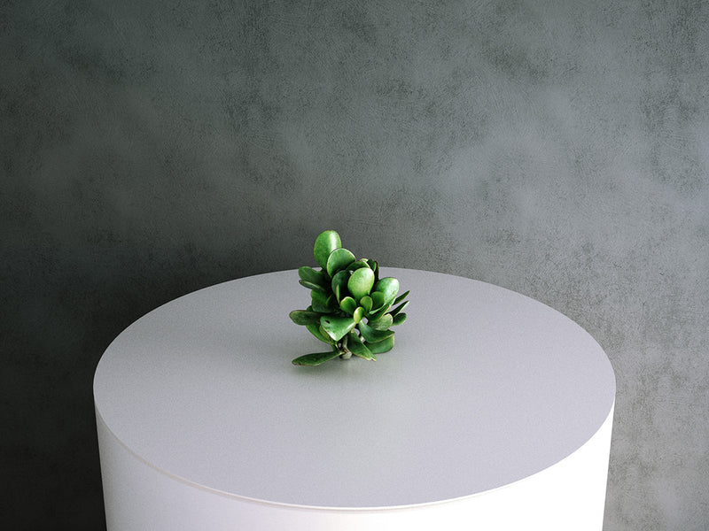 Crassula Ovata (Sunset Jade) 02