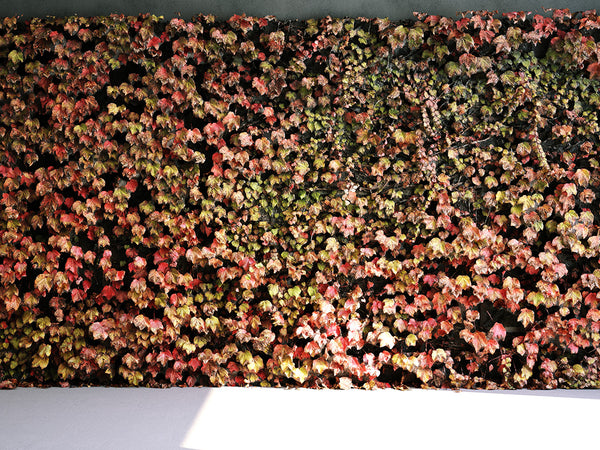 Simulat 3d Model: Fall / Autumn Ivy Wall (Boston Ivy)