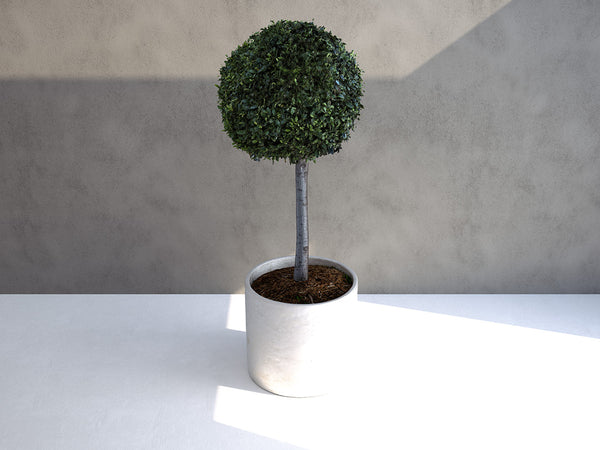 Laurus Nobilis Tree 02