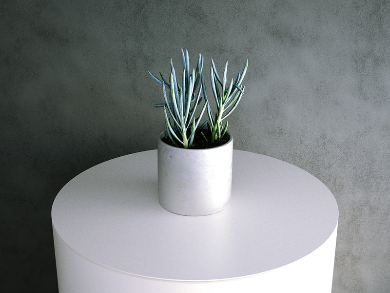Senecio Serpens (Blue Chalksticks)