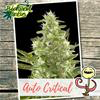 Indica Auto - CRITICAL - Biological Seeds