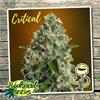 Indica Femm - CRITICAL - Biological Seeds